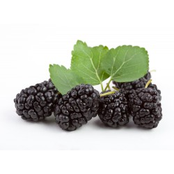 Mulberry berry, Black 800...
